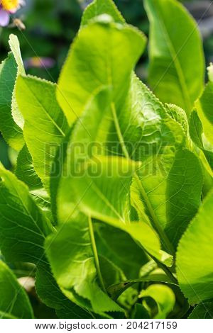 horseradish plant armoracia rustica leaf close up radish