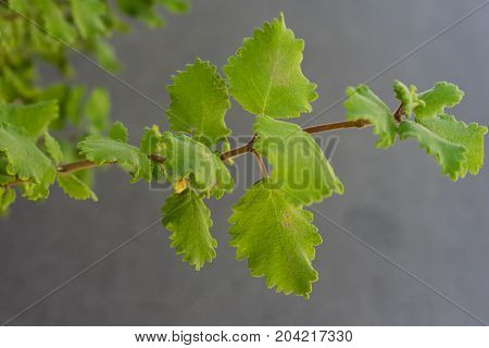 incense bush iboza riparia green leaf leaves aromatic herb