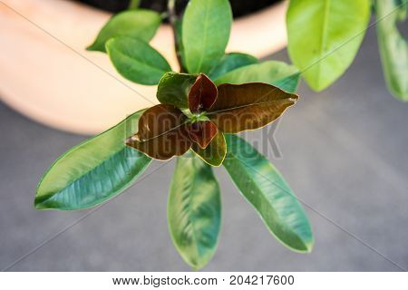 green and red leaf from xanthostemon chrysanthus golden penda tree myraceae from austrialia