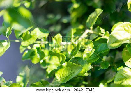 jasminum sambac arabic jasmin oleacea from india leafs