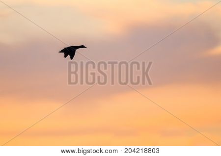 Silhouetted Duck Flying in the Beautiful Sunset Sky