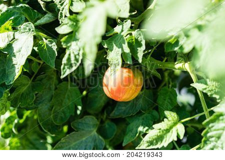 ripe apple tomate hanging from plant in urban garden at a summer day