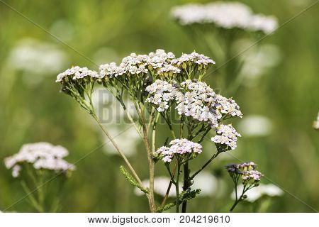 Medicinal herbs: Flowers common yarrow (Achillea millefolium)