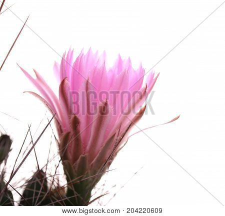 Beautiful small cactus with pink flowers. Flowering cactus, macro, mamillaria, isolated on a monophonic light blue background, crimson flowers, bud, thorns, coarse.