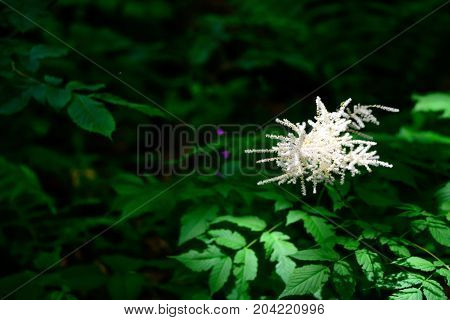 Close up white flowers of Goat's beard or Aruncus dioicus with dark green leaves in background