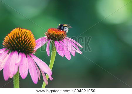 Beautiful purple flowers of Echinacea purpurea in blossom and bumblebee