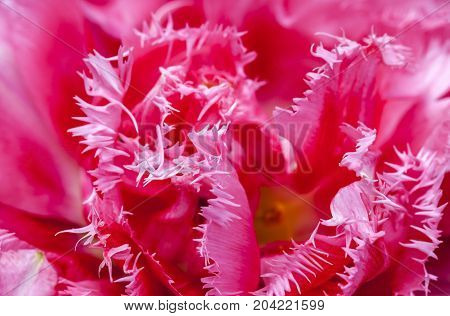 Close-up of a beautiful pink fringed tulip.