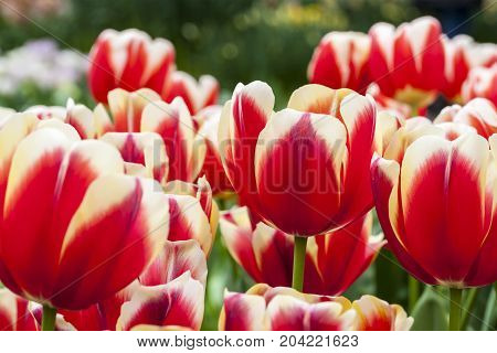 Soft image of a beautifully colored field of tulips.