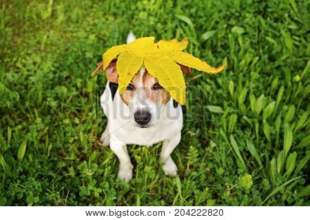 Adorable Funny Dog Jack Russell Terrier Sitting on the Grass With Big Yellow Maple's Leaf on Head. Seasons Change Concept. High Angle View