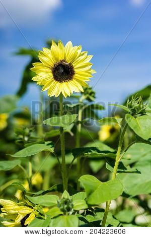 bee and sunflower on blue sky background