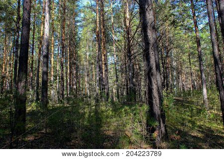 Pinery Forest Landscape, Through Pine Needles On The Ground Peep Berries And Mushrooms, Low Bushes