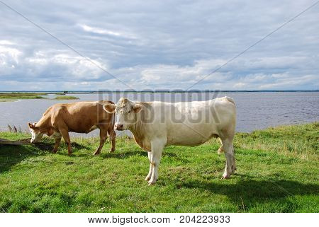 Peaceful view with cattle by seaside at the swedish island Oland in the Baltic Sea