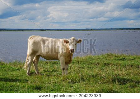 Sunlit young white cow by seaside at the swedish island Oland