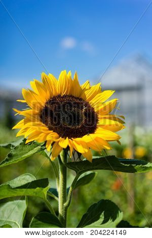 sunflower with bee and house in the background and blue sky