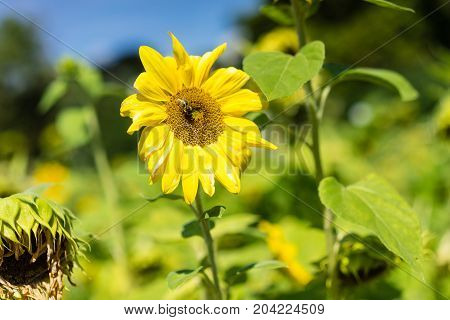 sunflower with bee in sunflower field next to withered sunflower in summer