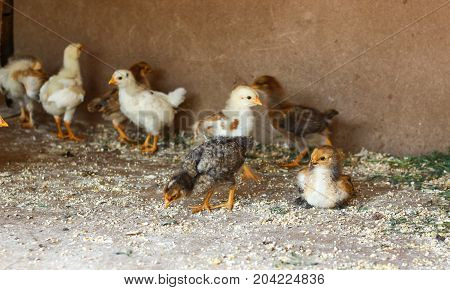 group Little yellow chicks in chicken farm.