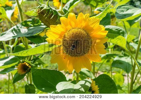 sunflowers in sunflower field with green leaves and plant in summer