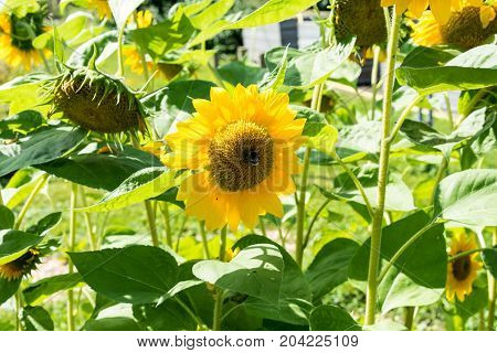 sunflowers with blue sky in sunflower field close up summer feeling