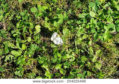 white butterfly sitting in meadow in summer close up view animal