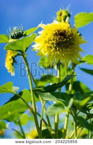 young sunflower with old sunflower and blue sky background