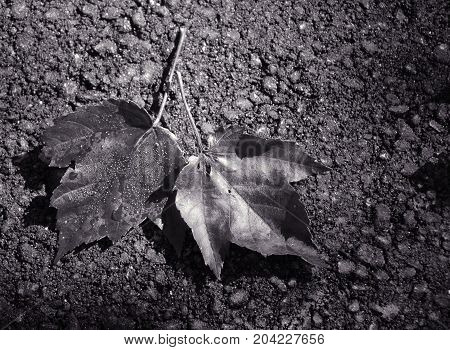 Fallen maple leaves in dramatic black and white