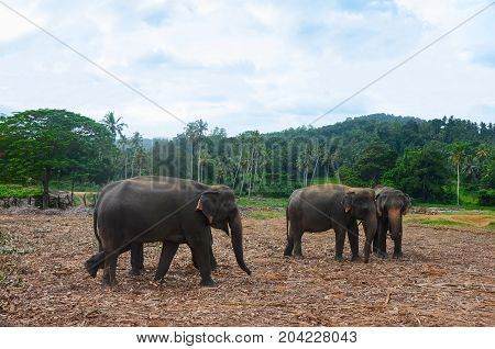Group of elephants (Elephas maximus) in wild nature. Pinnawala, Sri Lanka