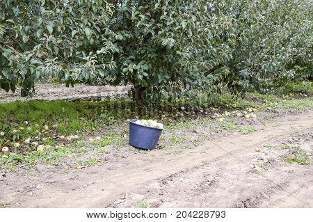 A Bucket With Apples In The Garden. Apple Orchard. Rows Of Trees