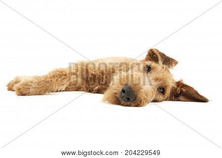 Purebred Dog Irish Terrier Isolated On White
