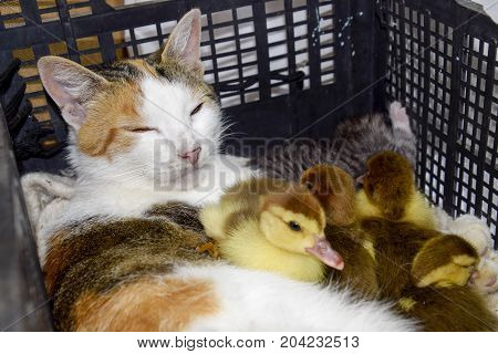 Cat In A Basket With Kitten And Receiving Musk Duck Ducklings. Cat Foster Mother For The Ducklings