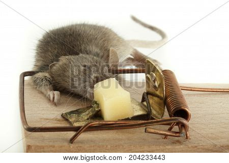 Death Mouse In Trap