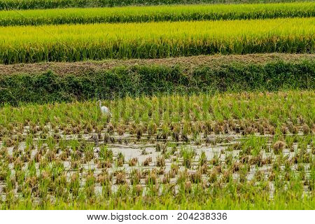White Snowy Egret Looking For Food In A Rice Paddy
