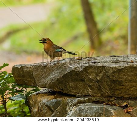 Eurasian Jay Standing On A Large Flat Bolder