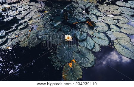 Wide-angle shooting of beautiful white blooming water-lily flower in autumn pond with spatterdocks; clouds trees branches and sky reflecting in deep purple water