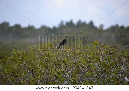 red winged blackbird perched at the top of a tree on a cloudy day