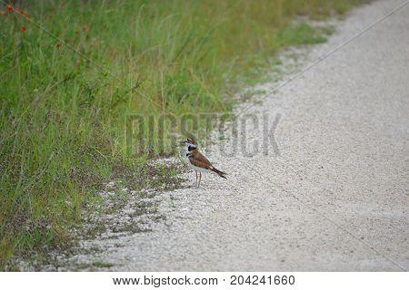 a kill deer  bird crossing the road