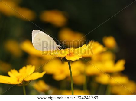 Closeup yellow flower with Butterfly on blurred background