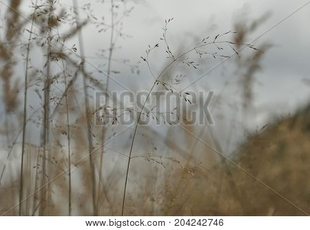 Autumn field. Golden ears of field grass. Beautiful rural landscape in pastel colors.