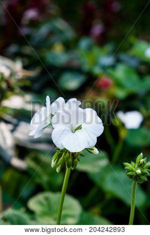 Geranium Flower, Pelargonium X Hortorum L.h.bail (geraniaceae) In Garden