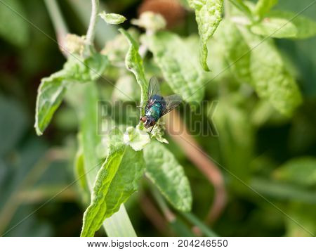 Green And Red Eyed Insect Fly Calliphora Vomitoria