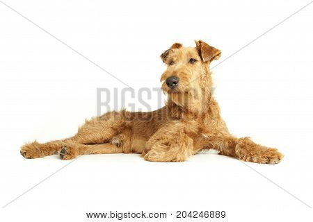 Purebred puppy dog Irish Terrier isolated on a white background