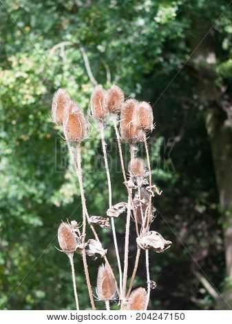 Bunch Of Teasel Heads Outside Flowers Dry Dried Brown Stalks Dipsacus
