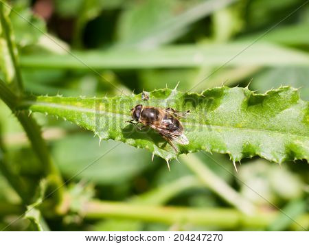 Close Up Of Hover Fly On Leaf Syrphidae