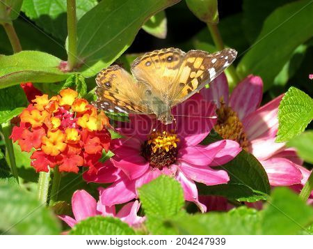 Junonia coenia butterfly on a flower in garden on bank of the Lake Ontario in Toronto Canada September 12 2017