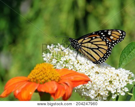 Monarch butterfly and flowers in garden on bank of the Lake Ontario in Toronto Canada September 12 2017