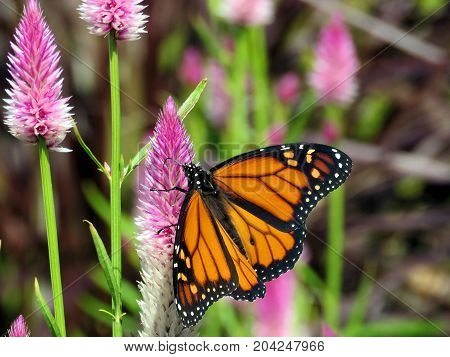 Monarch butterfly on a beautiful flower in garden on bank of the Lake Ontario in Toronto Canada September 12 2017