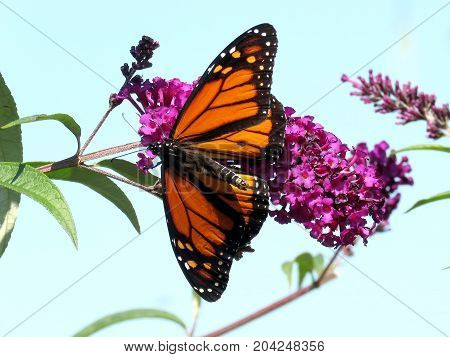 Monarch butterfly on the flower in garden on bank of the Lake Ontario in Toronto Canada September 12 2017