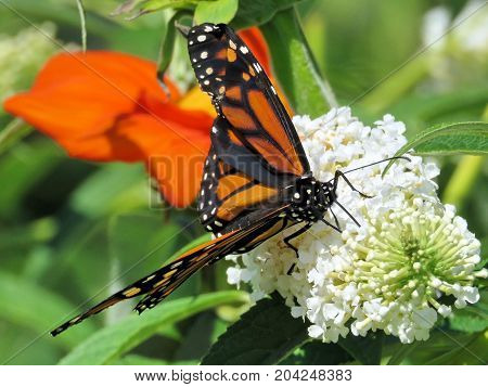 Monarch butterfly on the white flower in garden on bank of the Lake Ontario in Toronto Canada September 12 2017