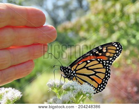 Monarch butterfly near the palm in garden on bank of the Lake Ontario in Toronto Canada September 12 2017