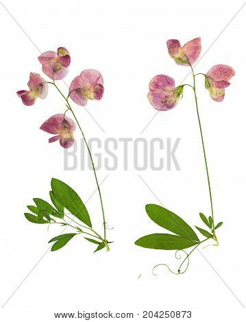 Pressed and dried stalk Lathyrus tuberosus with delicate pink flowers isolated on white background. For use in scrapbooking floristry or herbarium.