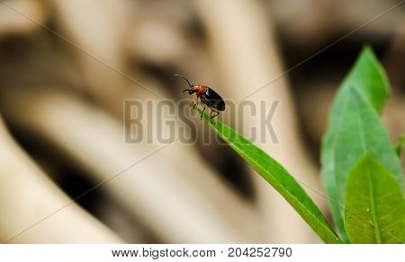 Close up of black Cucurbit Beetle on green leaf
